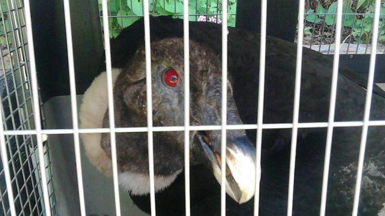 Rescataron un cóndor herido en Loncopué
