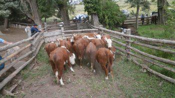 Se robó 18 vacas