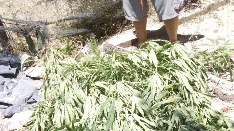 Las plantas de marihuana.