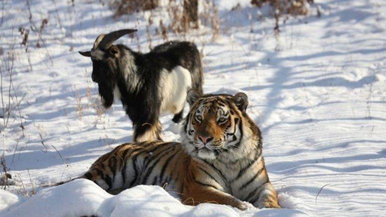 La sorprendente amistad entre un tigre y una cabra