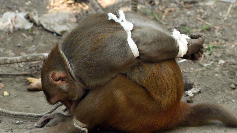 Los monos son muy respetados en India