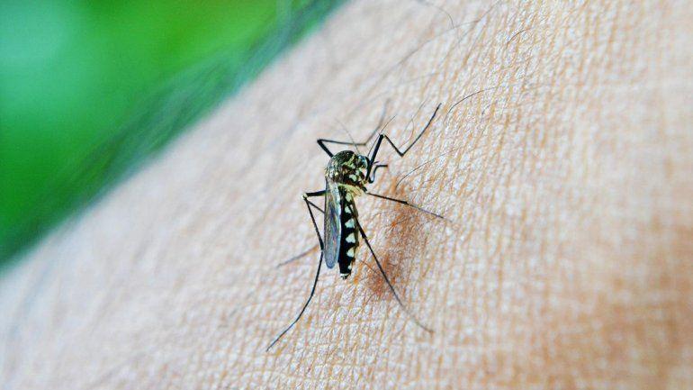 El mosquito vector del zika.