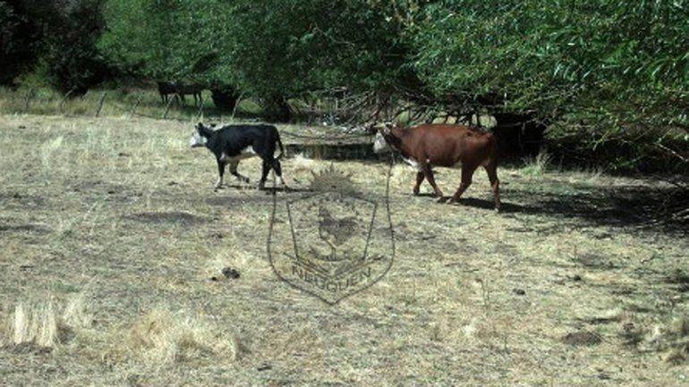 Recuperaron dos vacas robadas en Bajada del Agrio.