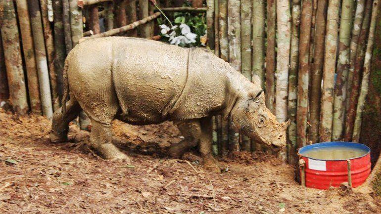 El rinoceronte de Sumatra se creía extinto desde hace 40 años.