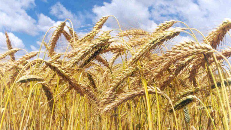 El maíz es una de las plantas más afectadas.