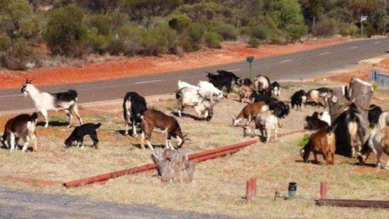 Cabras pastando tranquilamente en Kambalda.