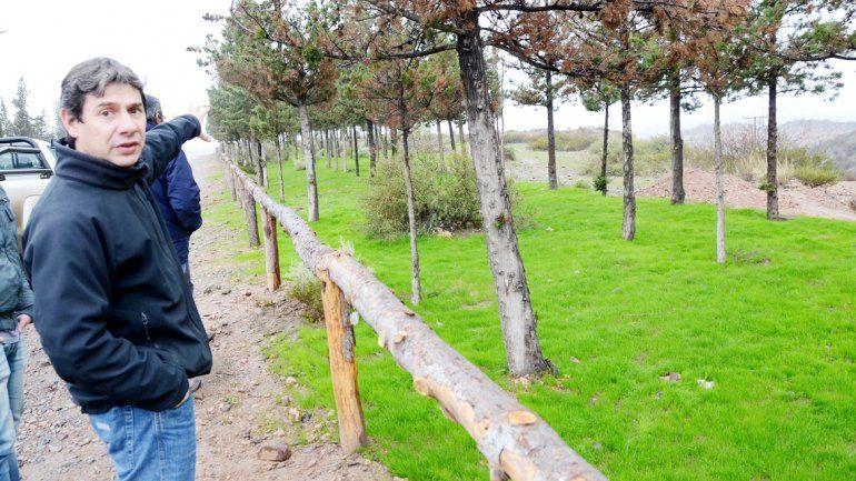 Los pinos ponderosa fueron traídos de Huinganco.