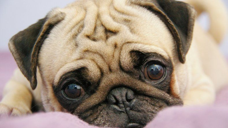 Un estudio reveló que el comportamiento de este tipo de canes compensa la fragilidad de su salud.