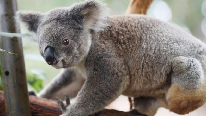 Los hombres ponen a los koalas contra las cuerdas
