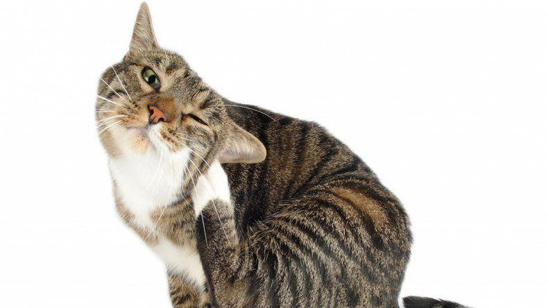 Ojo que no sólo afectan a los perros. Hay que prevenir y revisar que no tengan. Y si ya están infectados