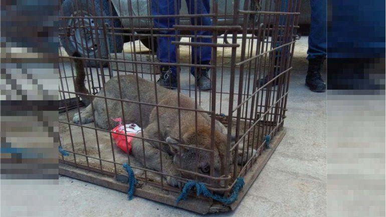 Sorpresa no grata: empleados de un galpón llegaron a trabajary encontraron un puma