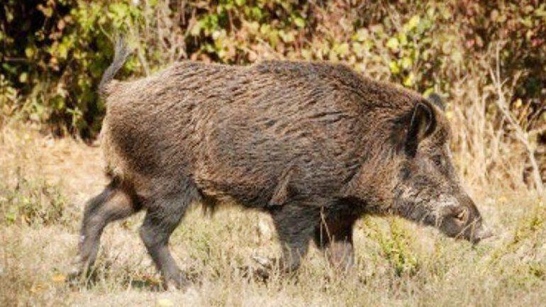 Detectan animales silvestres con triquinosis en la cordillera