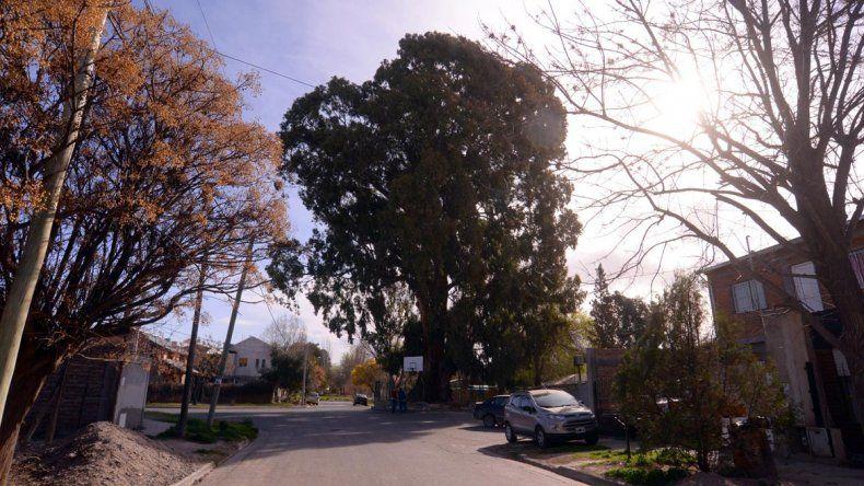 El enorme eucalipto alimenta de sombra a varias casas del barrio.