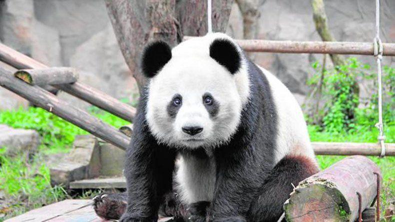 Los pandas gigantes salieron de la lista de especies amenazadas