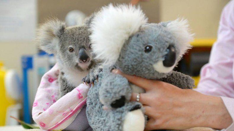 Un koala huérfano tuvoconsuelo en un peluche