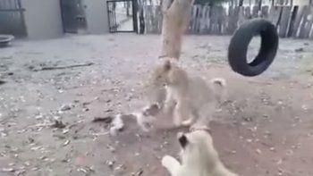 Cachorrito se enfrenta a tres leones y les saca la comida