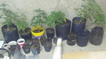 querian faso y se robaron unos veinte plantines de marihuana