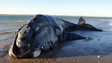 Según la autopsia, la ballena Amancay estaba enferma