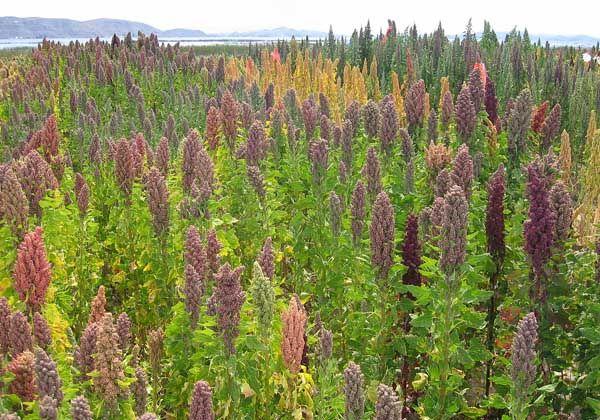 Buscan desarrollar la producción de quinoa en Neuquén