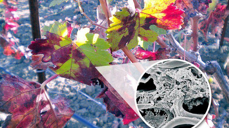 Una bacteria amenaza al mundo del vino