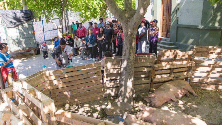 La protesta de los chacareros incluyó parte de sus animales: llevaron hasta los chanchos y armaron un improvisado corral en Roca y La Rioja.