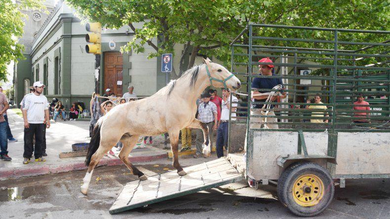 Veinte animales fueron retirados ayer de la vereda de Casa de Gobierno. Los chacareros seguirán en el lugar hasta la reunión que tendrán hoy con las autoridades.