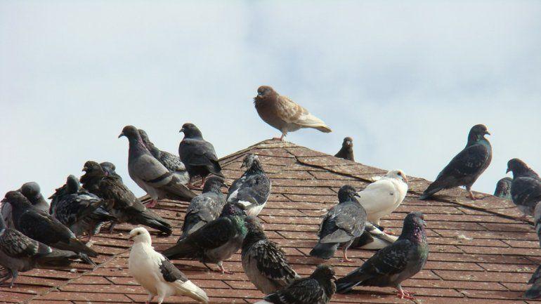 Una norma de hace 70 años prohíbe matar a las aves mensajeras.