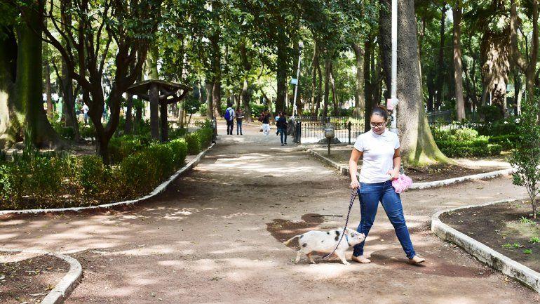 En las plazas es posible ver a las señoras paseando cerditos. Hasta los visten de gala para exhibirlos en público.