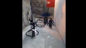 Como en Madagascar: se escaparon cinco pingüinos del zoo