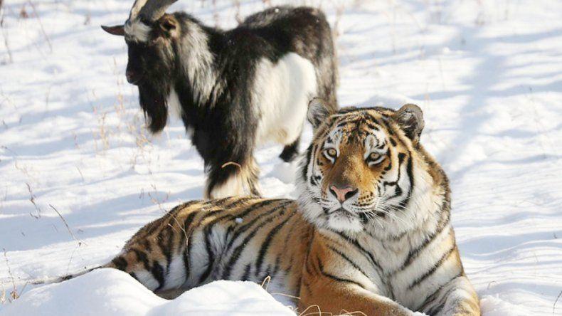 El tigre Amur y la cabra Timur