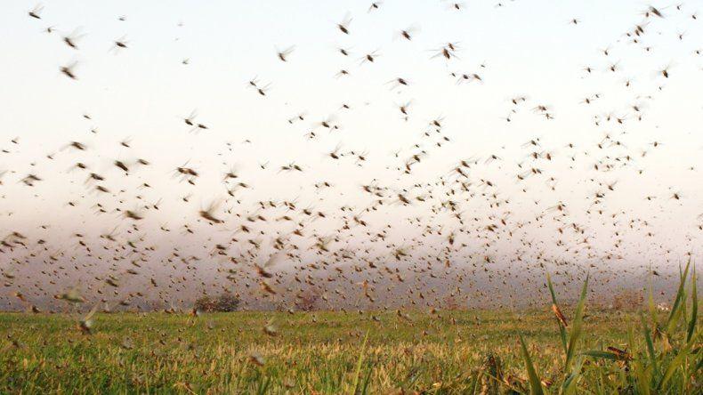 Las langostas avanzaron sobre la soja y las pasturas en los campos de Santiago del Estero.
