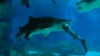 Un tiburón se tragó a otro dentro de un acuario