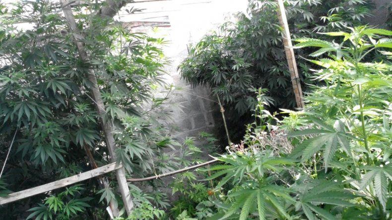 Las plantas de marihuana medían hasta 2