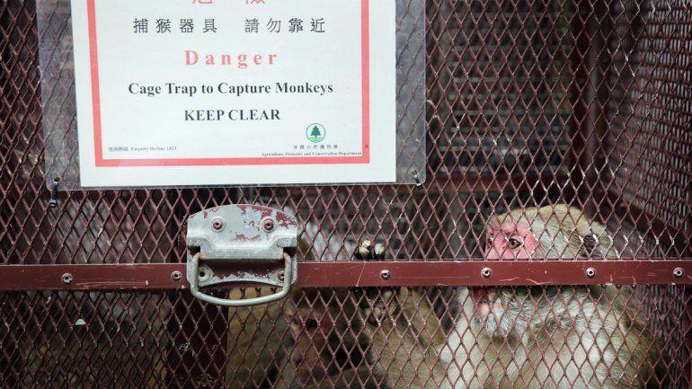Uno de los animales capturados por perturbar el orden público en la isla. Y un mono suelto