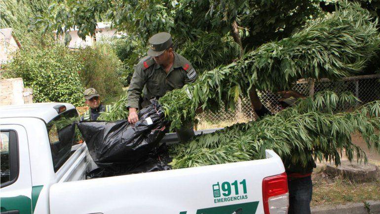 Desbaratan banda que cultivaba y vendía marihuana