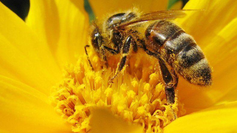 Las abejas son vitales para la polinización de cultivos clave.