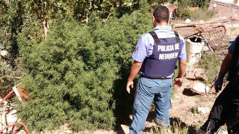 Durante el allanamiento secuestraron 20 plantas de marihuana.