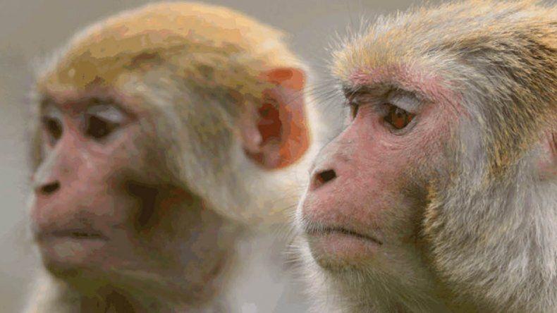 A dos macacos Rhesus les fueron implantados electrodos que permitieron el éxito de la prueba.