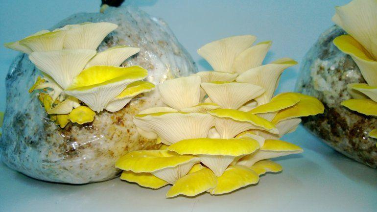 Los productores se dedican principalmente al cultivo de gírgolas y shitakes