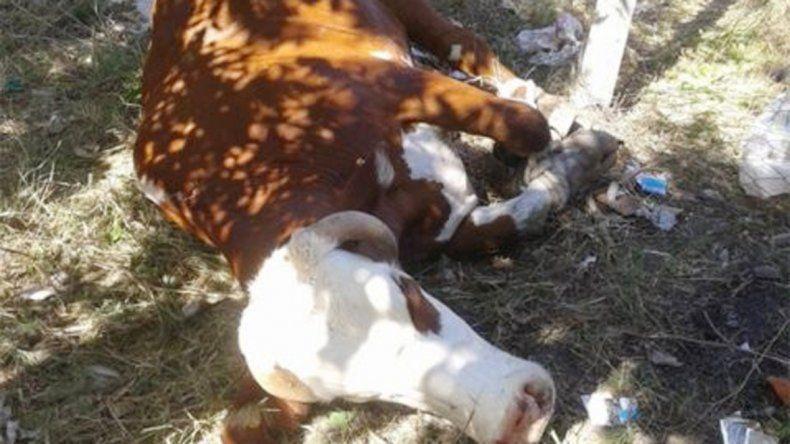 El toro cuando se detuvo a descansar de su corrida. Luego fue neutralizado por un vecino. Casi provoca una tragedia.