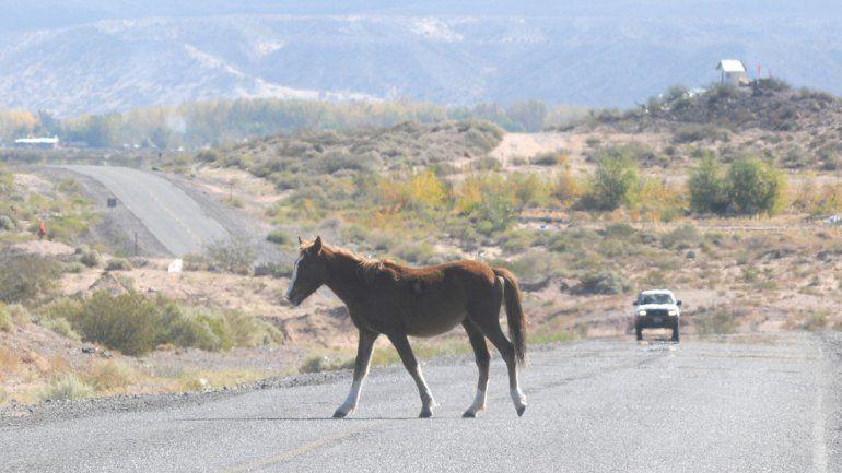 Los caballos se cruzan cada tanto por la ruta petrolera