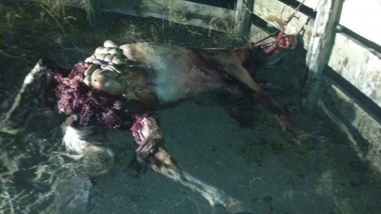 Loncopué: indignación por cruel matanza de un potrillo