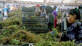 Las mujeres realizan un trabajo de selección de plantines que van a cajas.