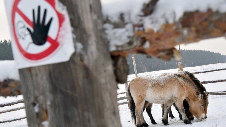 Caballos salvajes en la abandonada Chernobyl.