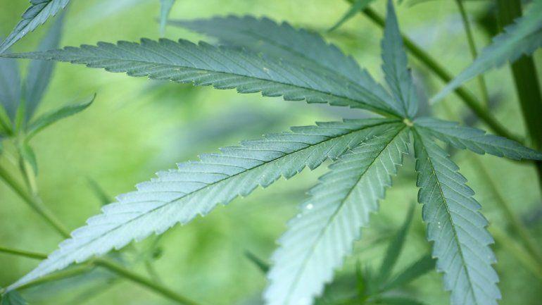 La marihuana se abre paso para uso medicinal.
