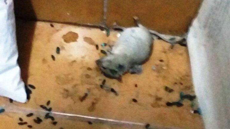 Uno de los roedores capturados por los empleados.