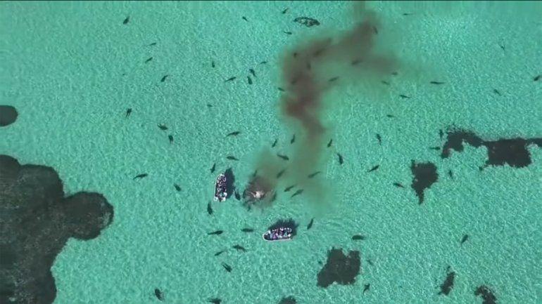 Drone capta el momento en el que tiburones devoran una ballena