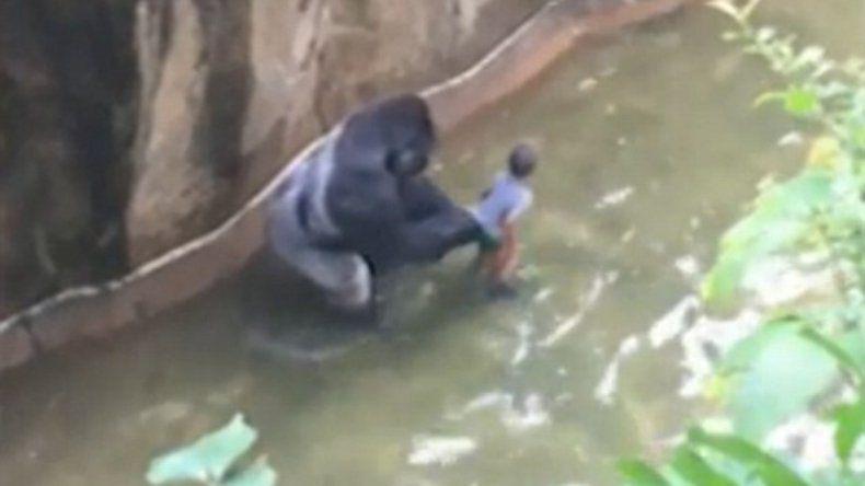 El gorila estaba en una jaula junto a dos hembras que no se acercaron al chico.