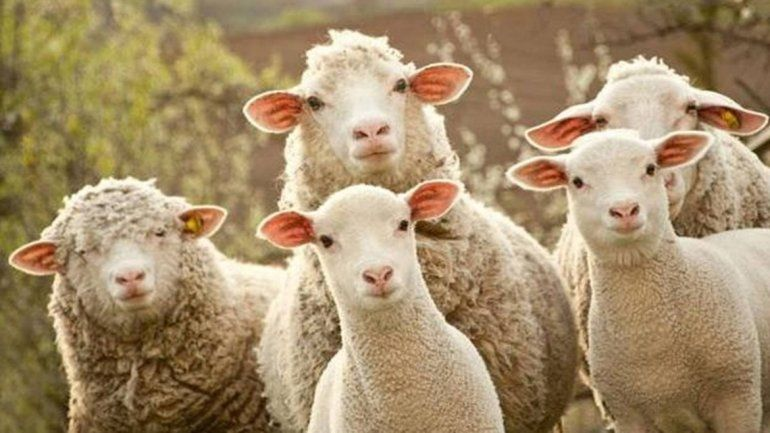 Las ovejas comieron los residuos que se arrojaron en un campo.