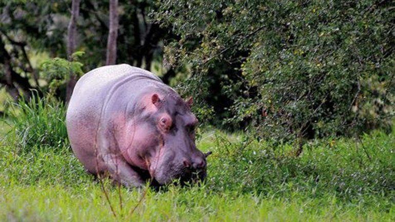 Uno de los hipopótamos más temidos